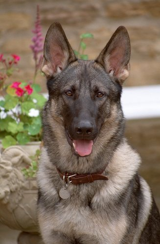 German Shepherd Dog pictures...