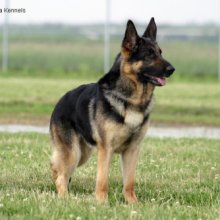 German Shepherd Dog Photos