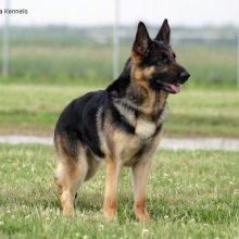 Puppyfind German Shepherd Dog Puppies For Sale