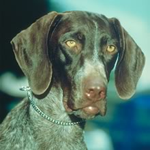German Shorthaired Pointer Photos