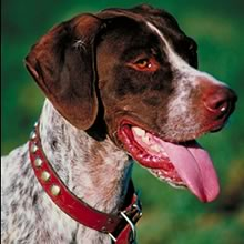 PuppyFind | German Shorthaired Pointer Puppies for Sale