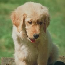 Golden Retriever Photo Gallery...