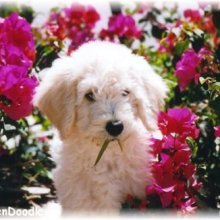 PuppyFind | Goldendoodle Puppies for Sale