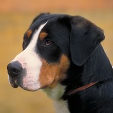 Greater Swiss Mountain Dog Photos