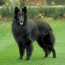 Грюнендаль (бельгийская овчарка).  Порода собак.  ФОКСТЕРЬЕР.