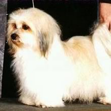 Havanese Photos