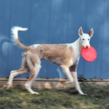 Ibizan Hound Photos