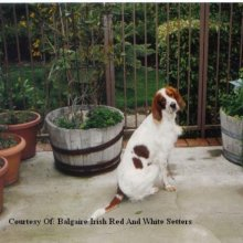Irish Red and White Setter Photos