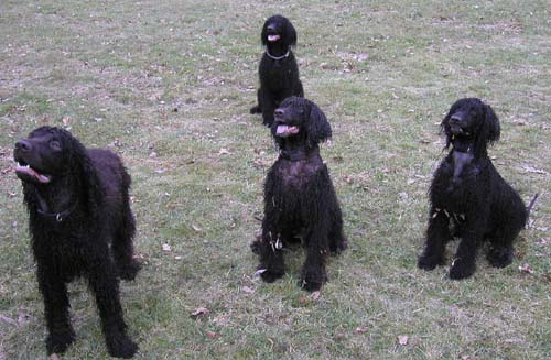 Irish Water Dog Puppies For Sale