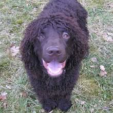 Irish Water Spaniel Photos
