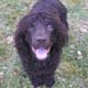 Irish Water Spaniel Dog Breed Profile...