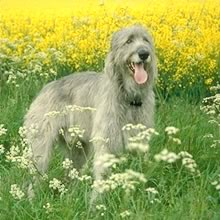 Irish Wolf Hound Photos