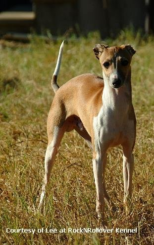 Italian Greyhound Pictures
