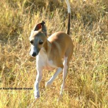 Italian Greyhound Photos