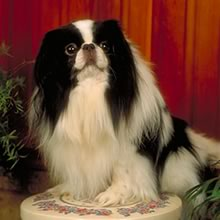 Japanese Chin Photos