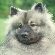 Keeshond Puppies on Keeshond Puppies For Sale