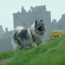 Keeshond Photo Gallery...