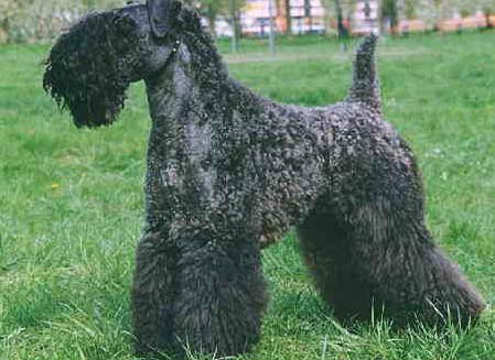 Kerry Blue Terrier New Jersey Kerry Blue Terrier Pic...