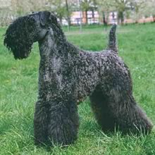 Kerry Blue Terrier Photos