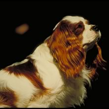 King Charles Spaniel Photos