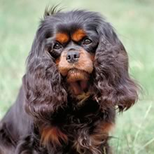 King Charles Spaniel Photo Gallery...