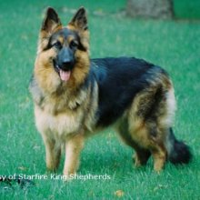 King Shepherd Photos