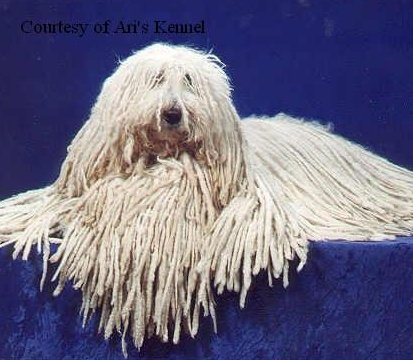 Komondor pictures...