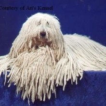 Komondor Photos