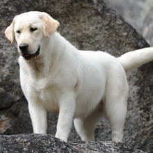 Puppyfind Yellow Lab Puppies For