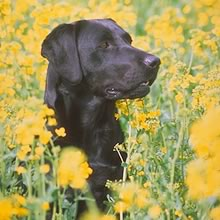 Black Lab Photos