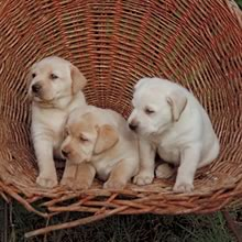 Labrador Retriever Photo Gallery...