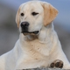 Labrador Retriever pictures...
