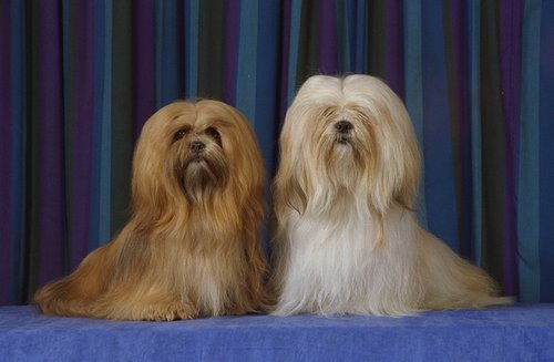 Lhasa Apso pictures...