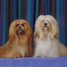 Lhasa Apso Photos