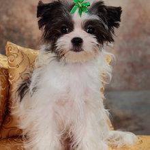 PuppyFind | Malchi Puppies for Sale