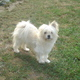 Maltipom Dog Breed Profile...