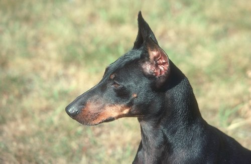 Manchester Terrier Pictures