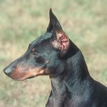 Manchester Terrier Photo Gallery...