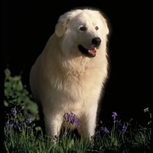 Maremma Sheepdog Photos