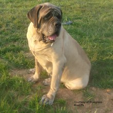English Mastiff Photos