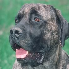 Mastiff Photo Gallery...
