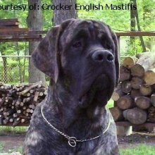 Mastiff Photos