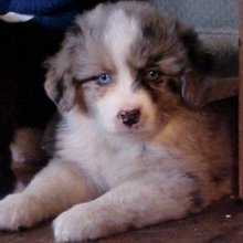 Miniature Australian Shepherd Photos