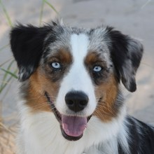Miniature American Shepherd Photos