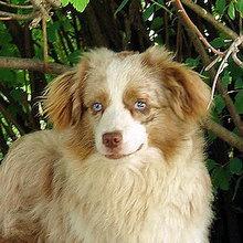 Puppyfind Miniature Australian Shepherd Puppies For Sale