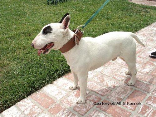 Miniature Bull Terrier Puppies