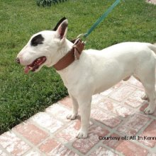 Miniature Bull Terrier Photos