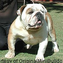 Miniature English Bulldog Photos