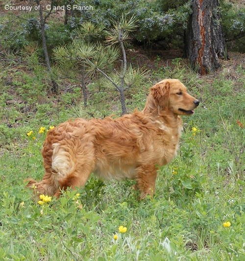 Miniature Golden Retriever Pictures