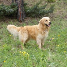 Miniature Golden Retriever Photos